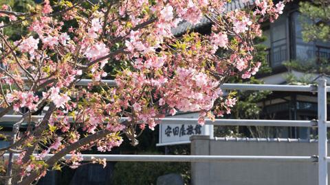 早咲きの桜と安田屋旅館