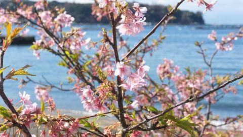 早咲きの桜と内浦の海